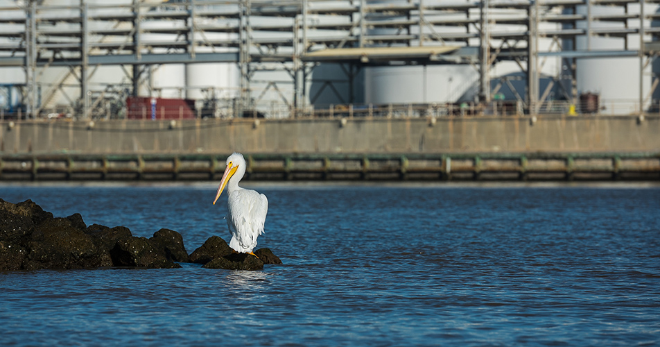 Photo of pelican in front of Dow plant in Texas